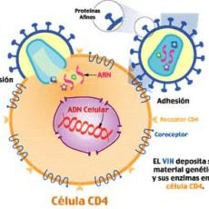 Fases de la infección por VIH